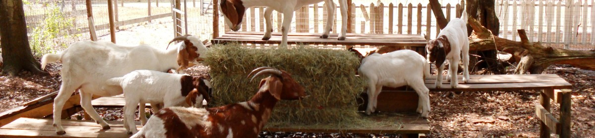 When Buying a Goat – Consider – Boer Goats Ranch